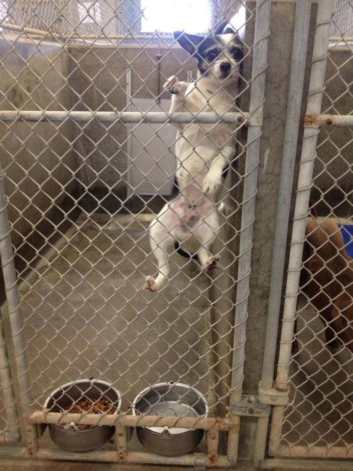 PLEASE HELP ME BEFORE THEY KILL ME- Look at this cutie climbing the fence--Chihuahua/Terrier mix female 5-7 years old   Kennel A21  Available 1-21-2014****$51 to adopt   LOCATED AT ODESSA TEXAS ANIMAL CONTROL https://www.facebook.com/photo.php?fbid=716014091756165&set=a.573572332667009.1073741829.248355401855372&type=3&theater...
