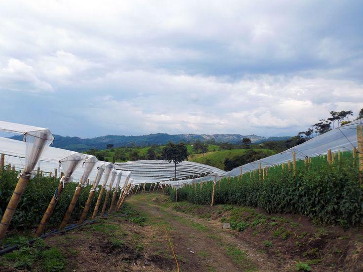 Los caminos por la finca entre las tomateras. ¿Necesitas fotos como esta para el contenido de tu web? Visita: www.laweb.com.co/contenido-web/