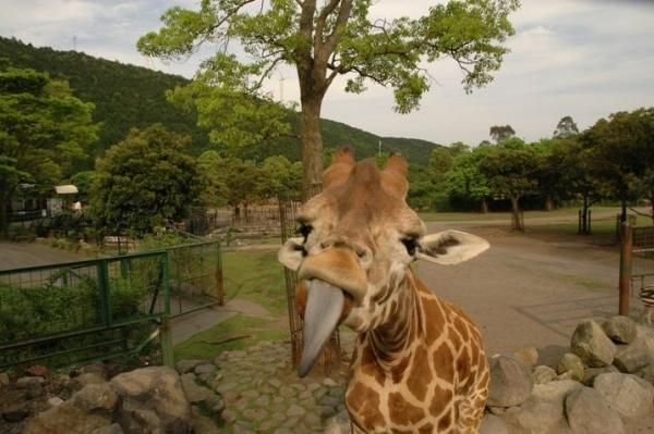 Funny Giraffe Pictures | Funny Giraffe Pictures, amusing pictures of giraffe