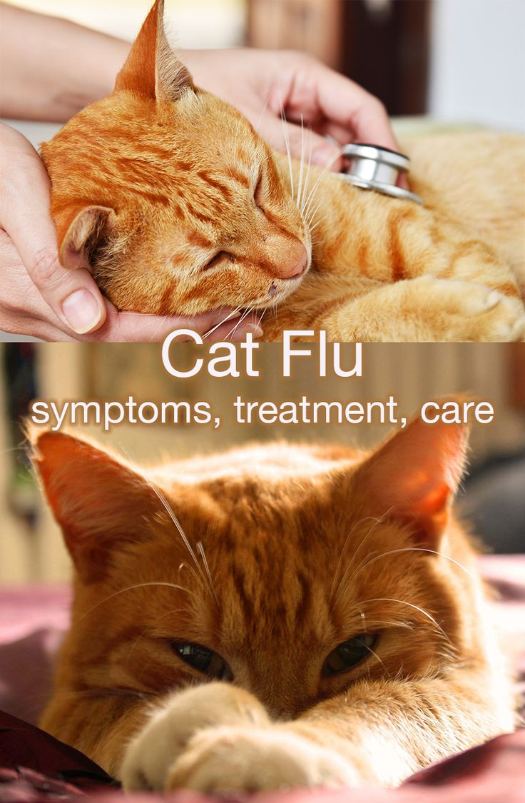 Cat flu: symptoms and treatment, a complete guide to getting your cat well