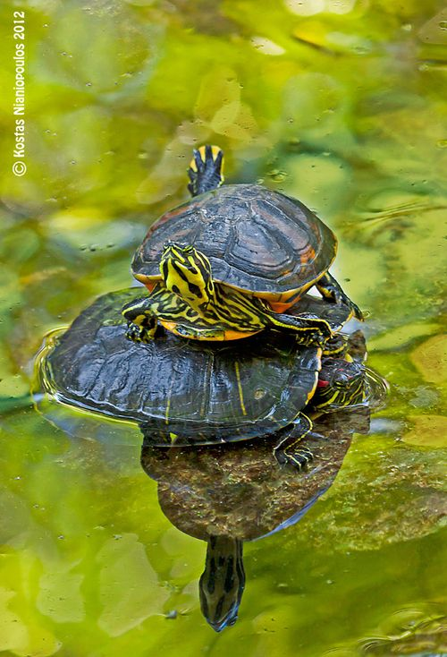 17 Best Images About Turtles Turtle Fresh Water On
