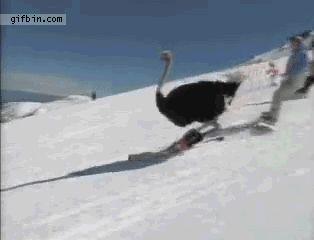 An ostrich skiing: