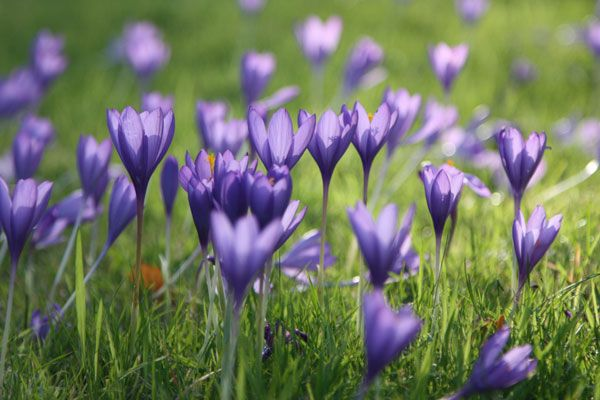 This stunning autumn-flowering Crocus speciosus 'Conqueror' is ideal for scattering through the lawn in naturalised drifts