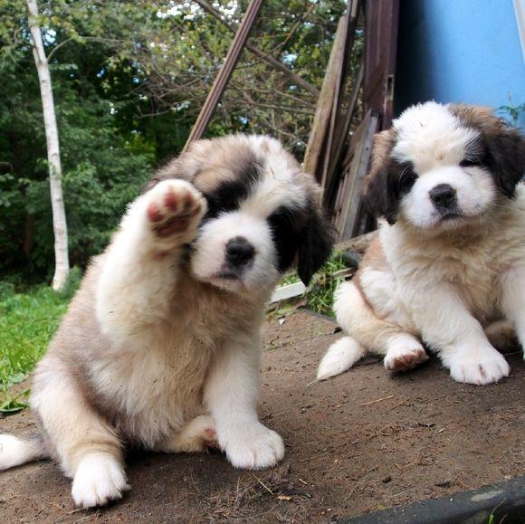 セントバーナードってどんな犬? -かわいいセントバーナードの画像