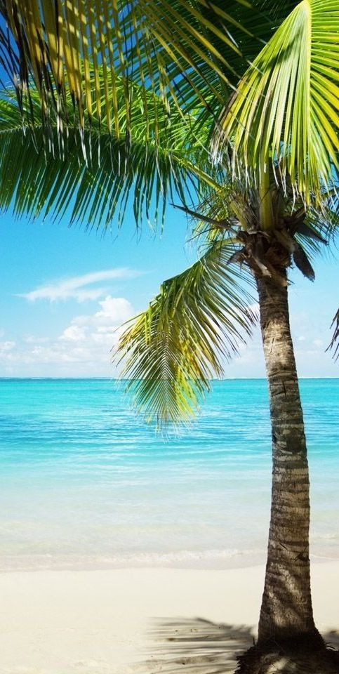 Leo - Palm Tree - Luquillo Beach. PUERTO RICO.
