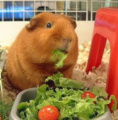Guinea pig dinner time. #nomnomnom. My piggy, loves carrots way more than any thing else! We always set the carrots on a paper plate and after he's finished, he'll also eat the plate!