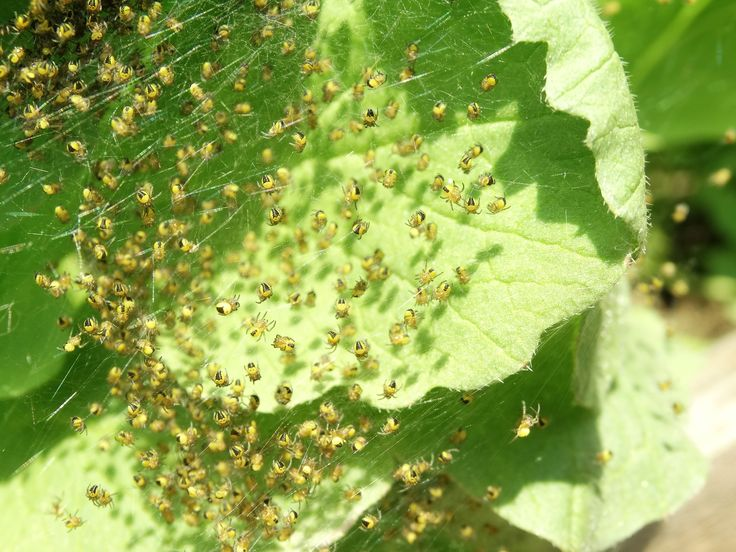 baby spiders