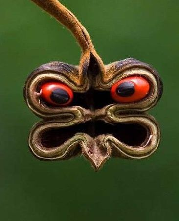The Scariest Seedpod