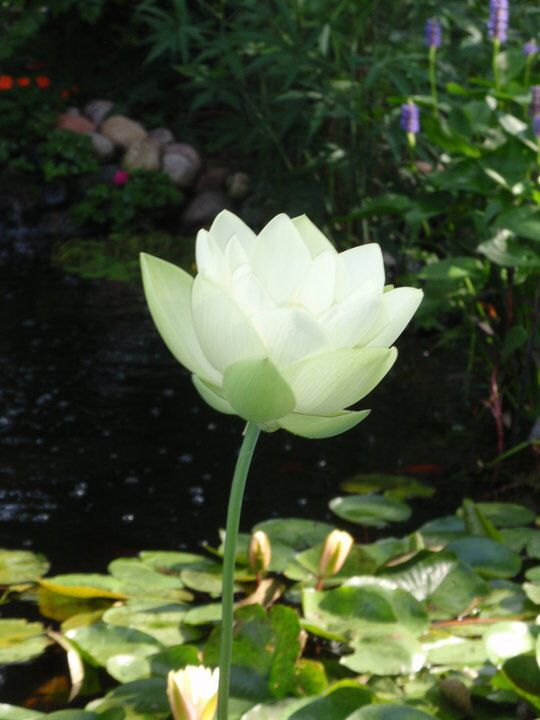 Lotus from a pond- photo by Cedes Buck