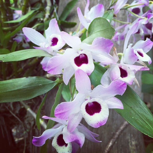 C U L T U R E one flower, many traditions. The Aztecs are said to have mixed orchids with chocolate to promote power and strength while the Victorians displayed them as a sign of luxury. To the Greeks they were the symbol of fertility!