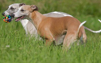 whippet temperament whats good about em whats bad