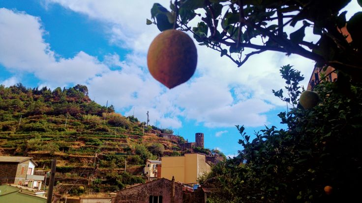 Lemons and grapes are among the best productions in #Cinqueterre. Here you can spot one of the towers in Vernazza. . . . . #wishversilia #tuscany #travel #travelpics #instatravel #instavacation #ilovetravel #italygram #tuscanygram #italyphoto #visit_tuscany #visittuscany #tuscanybuzz #instatuscany #italyiloveyou #postcardfromtheworld #traveling #vacation #visiting #instago #instagood #trip #holiday #photooftheday #instapassport #instatraveling #travelgram #travelingram #igtravel