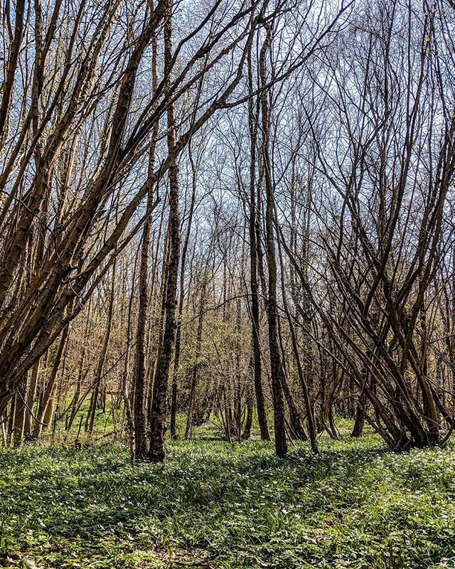 As the weather was good over the weekend and it actually felt like spring we went for a little walk.   No signs just yet of bluebells but there was certainly a lot more greenery and signs of life.   #visitsussex #woodlandwalks #woodlandtrust #Uckfield #nature_specialist #ig_landscapes #natureseekers #earthoutdoors #landscape_capture #photosofbritain #moody_nature #landscape_photography #lovegreatbritain #landscape_specialist #amomentofwonder #quietinthewild #springwatch #springfever