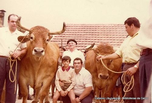 Paseo y exhibición de bueyes en Getxo, 16 de agosto de 1972. Los bueyes se llamaban Galán y Lindo y pesaron 1571 kg. en canal. Foto tomada en el patio del matadero municipal (Cedida por Santos Cajigas) (ref. 03423)