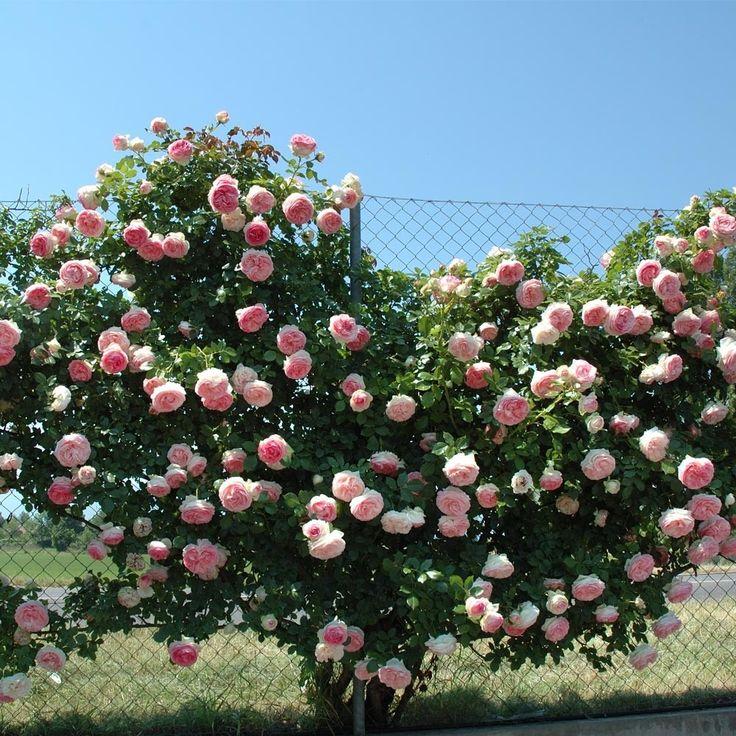 Rosier Grimpant PIERRE DE RONSARD ® Meiviolin Rose