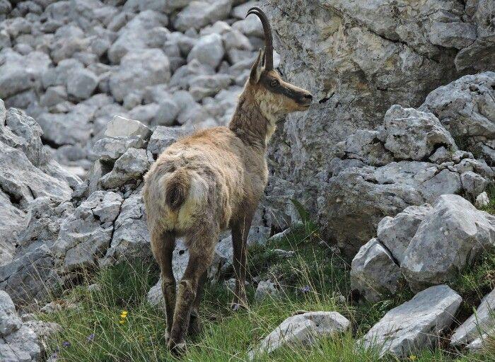 Rupicapra pyrenaica ornata (Camoscio d'Abruzzo) - Parco Nazionale d'Abruzzo, Lazio e Molise ©Lumachina