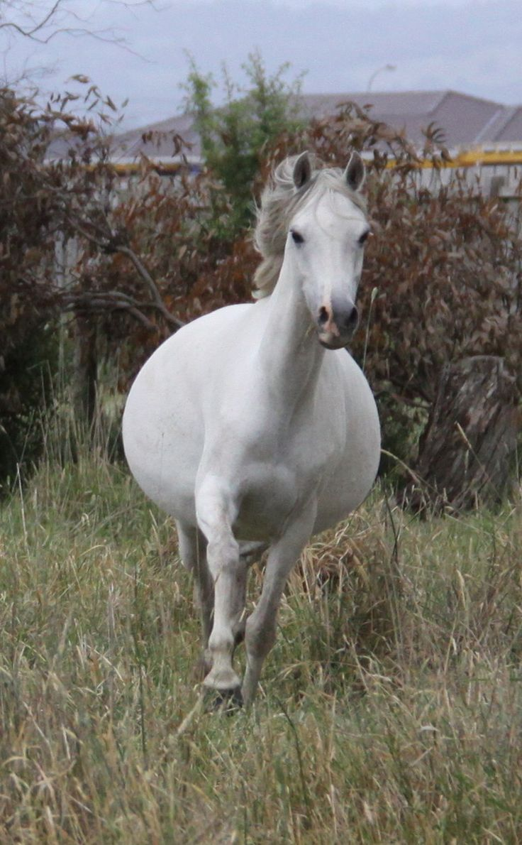 My fat (not pregnant) mare Belle.