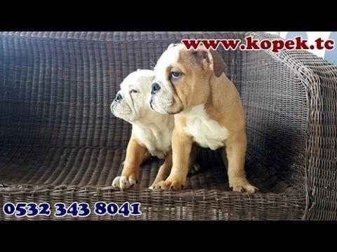 ingiliz bulldog yavru 05323438041
