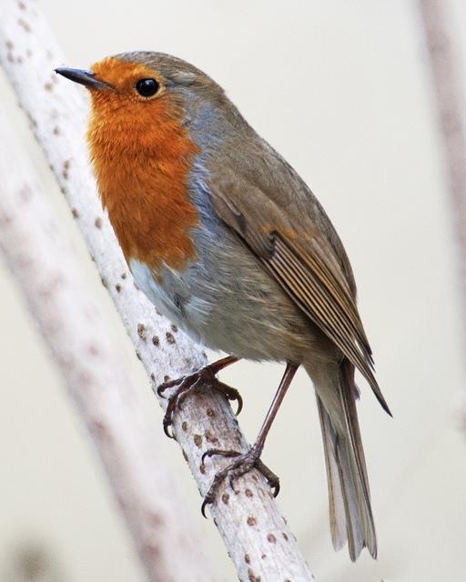 A beautiful #robin.