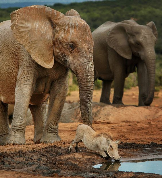 """The Polite Elephant"" waits while a warthog finishes drinking. Addo National Park, South Africa"