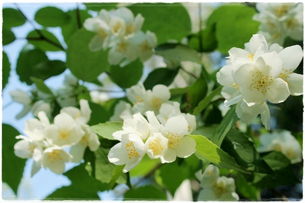 Jasmike - Mock Orange - Philadelphus