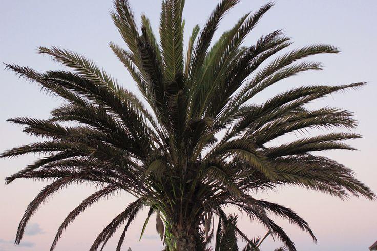 #palmier #palmtree