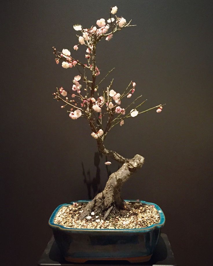 Our 36 year old Prunus Mume (Japanese Apricot). This tree was bought from Bonsai South (a nursery in Southern Sydney), but we can already see lots of potential and changes we want to make over the coming years. 06-07-16. #bonsai #tree #blossom #apricot #prunusmume #flowers