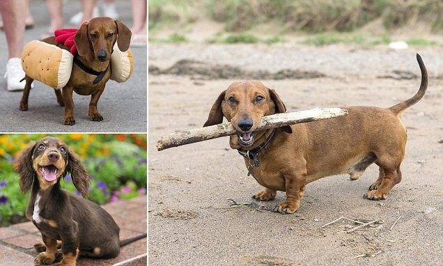 Mad Dash For Dachshunds As They Re The Perfect Size For Smaller