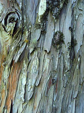 Great bark