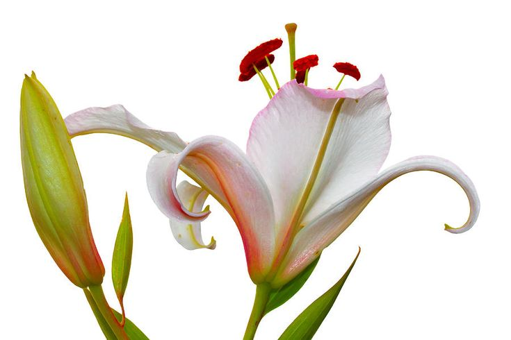 Natalya Myachikova Photograph - The Scent Of White Lilies by Natalya Myachikova#Natalya Myachikova Fine Art Photography # Spring# lily#macro#White background#Art For Home#Fine Art Prints#InteriorDesign