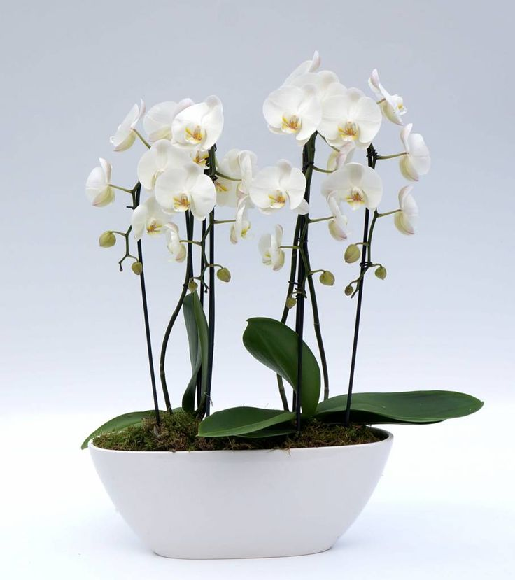 Vlinderorchidee White in bootschaal