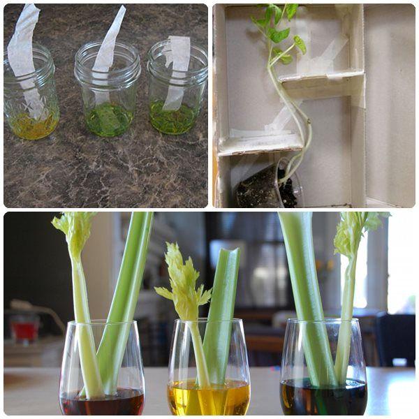 3 experimentos infantiles con plantas. Experimentos para niños con plantas para hacer en casa: teñir un apio, por qué las hojas cambian de color y las hojas necesitan luz.