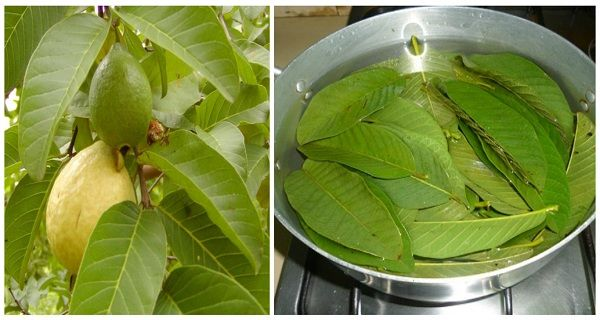 Guava Leaves Can Extremely 100% Stop Your Hair Loss And Make It Grow Like Crazy…