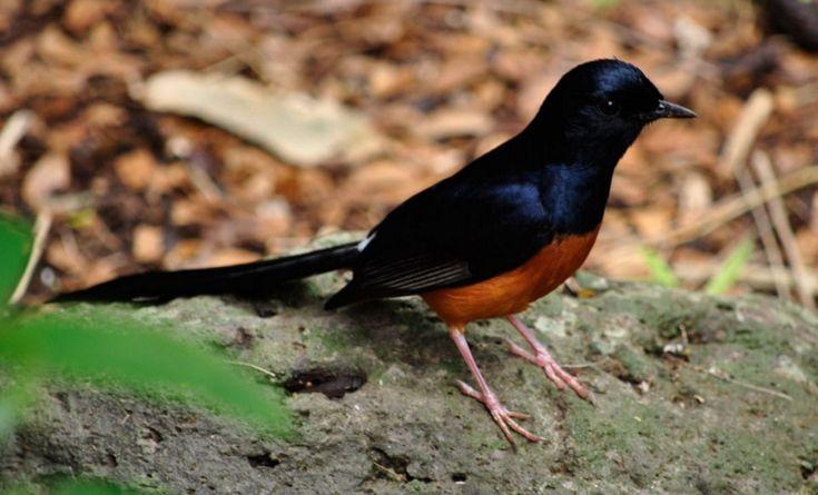 Daftar Kisaran Harga Burung Murai Batu Terbaru Burung Gacor Burung Murai Hutan