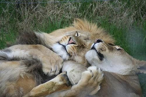 Lions in love <3