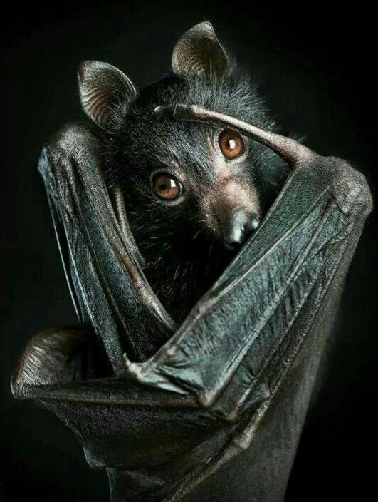 Each bat can eat 2000-6000 insects in a single night!  They eat all kinds of insects, including mosquitoes carrying diseases!  Love a bat today!