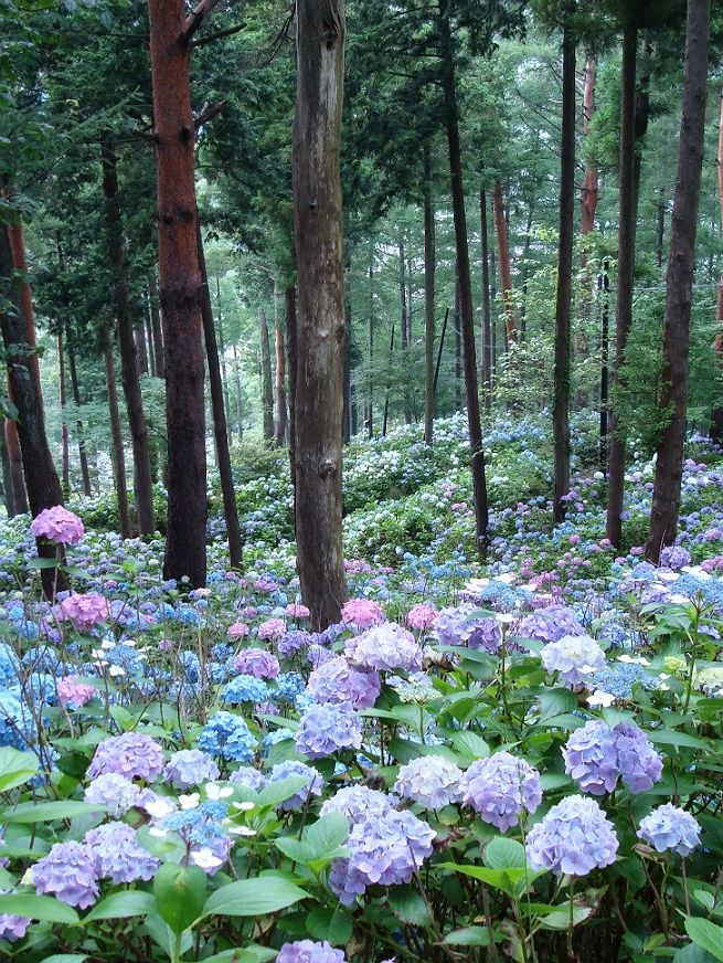 Hydrangea slopes - idea for meditation garden