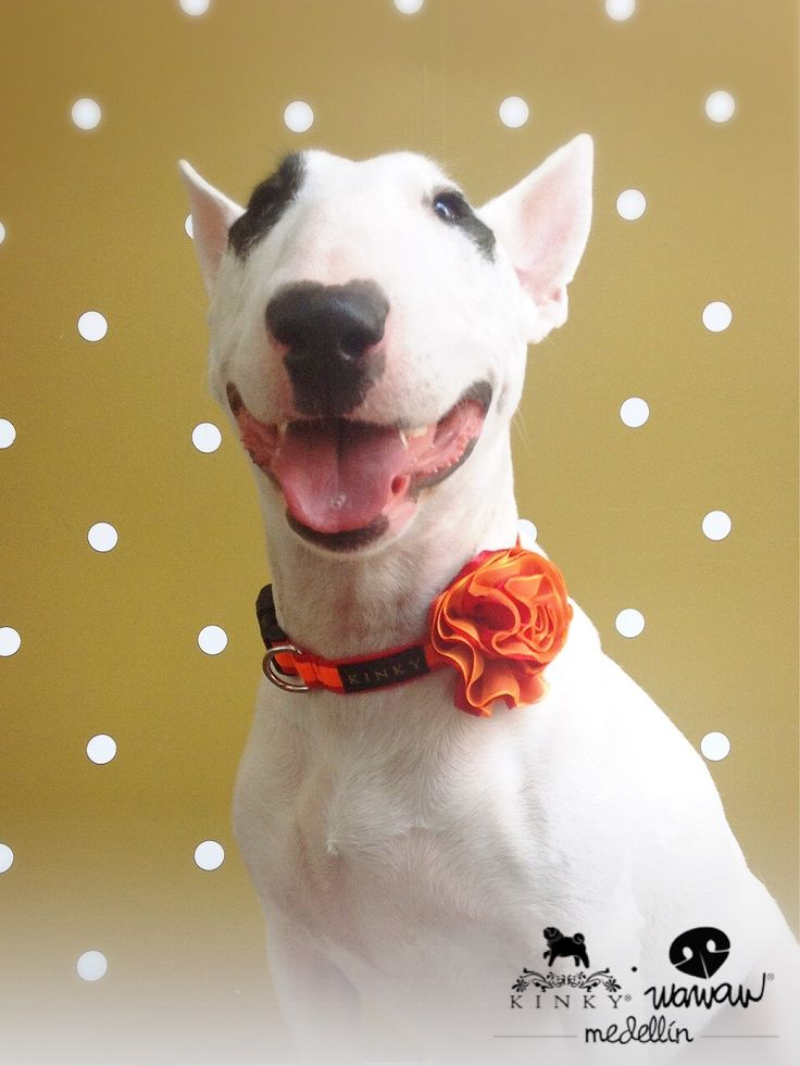Sweet lady Bull Terrier