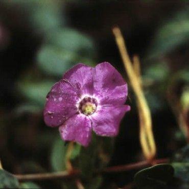 3 Maagdenpalm (Vinca minor 'Atropurpurea')-directplant
