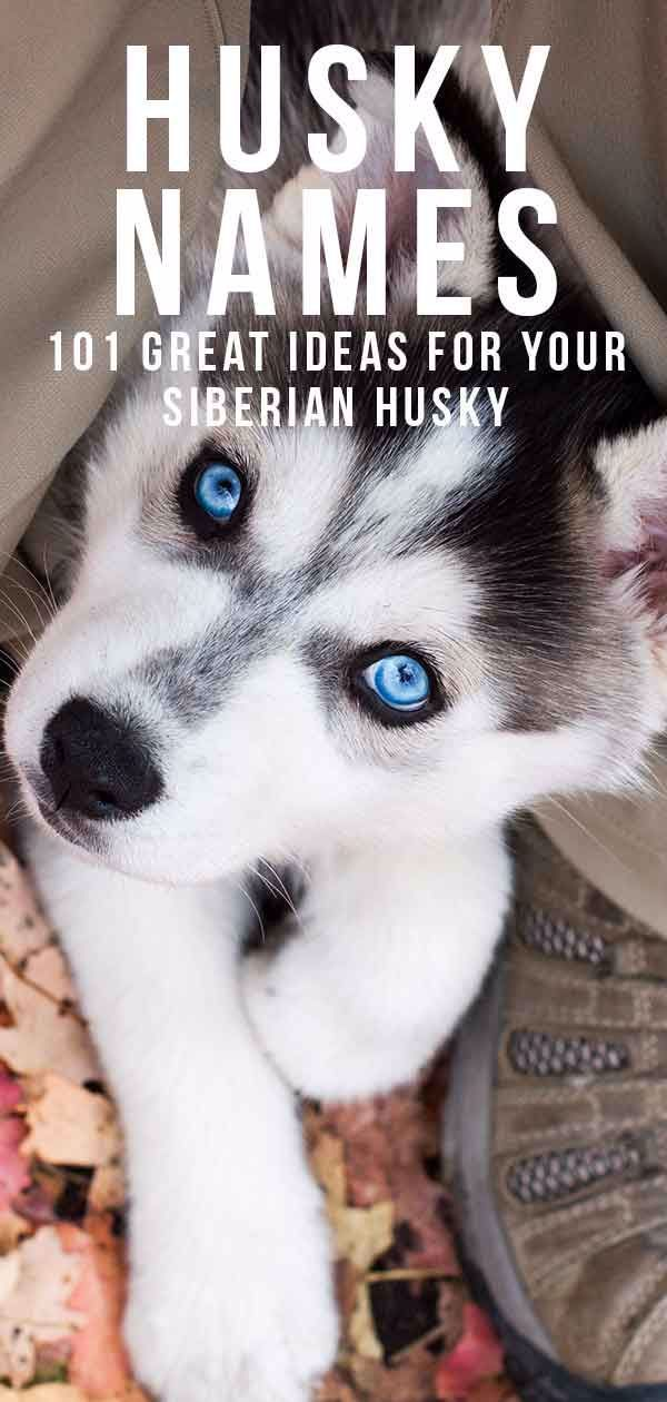 Husky Names 101 Great Name Ideas For Your Siberian Husky In 2020 Husky Names Siberian Husky Names Husky Dog Names
