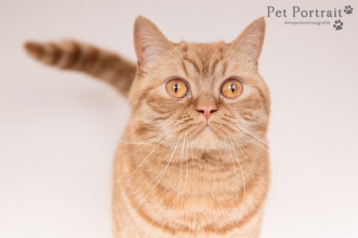 Kattenfotografie Waddinxveen - Foto van de fotoshoot voor Brits Korthaar kater Rosso, en konijn Molly