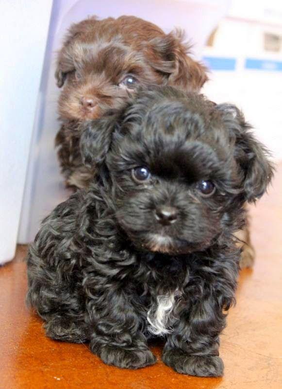 BOLONKA TREASURES: bolonka puppies