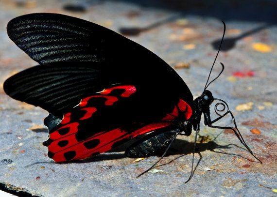 "Featured in the Etsy Treasury 'Inspiration' by Catteliya  Fine Art 5""x7"" Macro Butterfly Photograph ""Red Wings"" featuring black and red winged butterfly on stone path for modern decor"