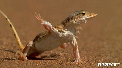 lizard on hot sand