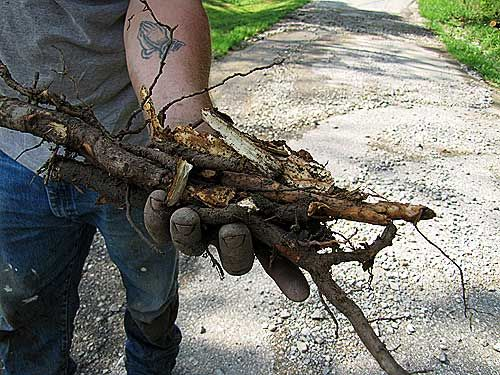 Sassafras Roots for teas, root beer and soap | Grow it / Raise it ...