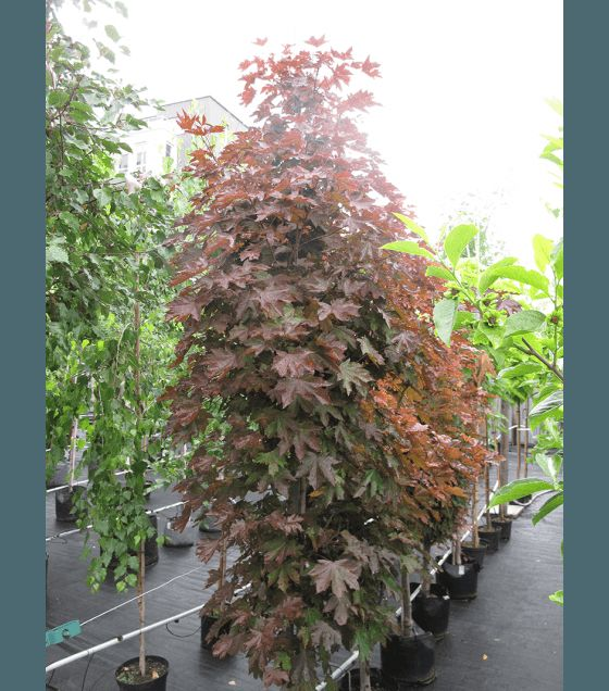Пурпурен Норвежки клен – Acer plat. Crimson sentry