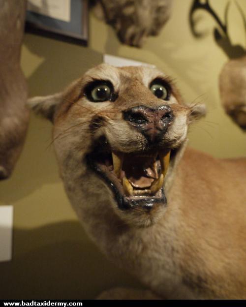 taxidermies loupees puma   Taxidermies loupées   2   tigre taxidermie singe puma photo ours lynx image horreur fail empaille empaillage chat...