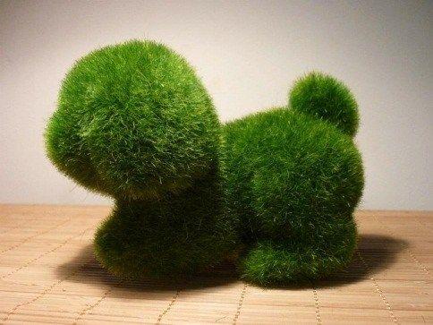 Japanese marimo moss ball pets beautiful moss for Marimo moss ball