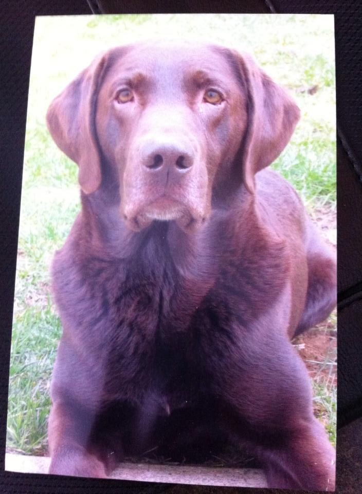 Missing Rudy from Austin Drive - Burnt River, Kawartha Lakes, ON area Feb.2015.  He is a male unaltered Chocolate Lab. Rudy had a Red nylon collar with no tags, no microchip or tattoo, droopy eyes, wart on right top tip of ear.  If seen please call owner. Call (705)934-1430 Any time!