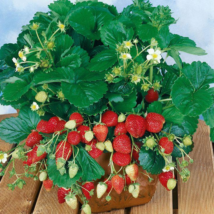 Ampeljordgubbe 'Temptation' i gruppen Fröer / Grönsaksväxter / Fruktgrönsaker / Jordgubbar hos Impecta Fröhandel (9596)